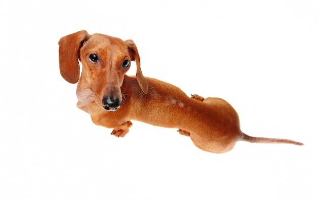 Vista do topo de um cachorro dachshund Foto Premium