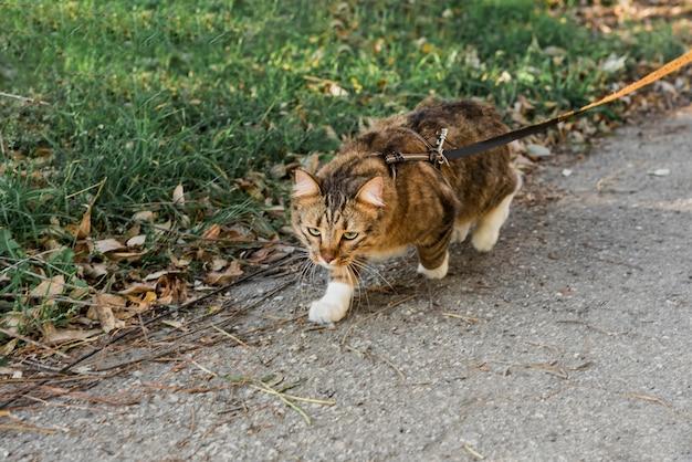 Vista frontal do gato malhado bonito com gola andando na rua Foto gratuita