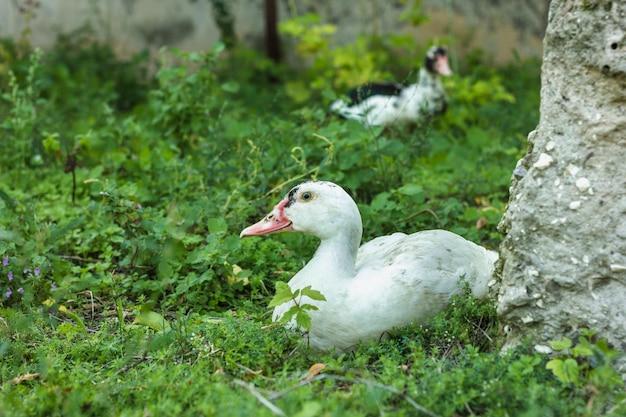 Vista frontal patos andando na natureza Foto gratuita