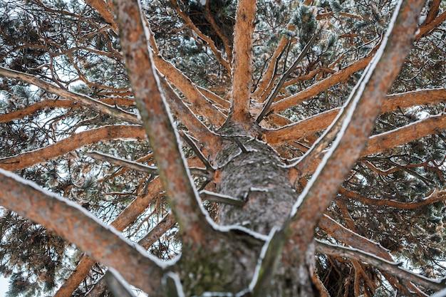 Vista incomum do pinheiro de inverno, de baixo para cima Foto Premium