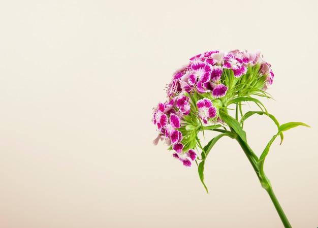 Vista lateral da flor roxa william doce ou cravo turco isolado no fundo branco, com espaço de cópia Foto gratuita