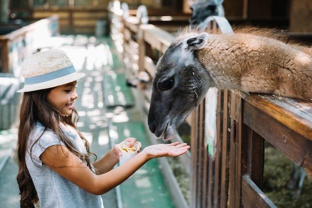 Vista lateral, de, um, cute, menina, alimentação, alimento, para, alpaca, em, a, fazenda Foto gratuita