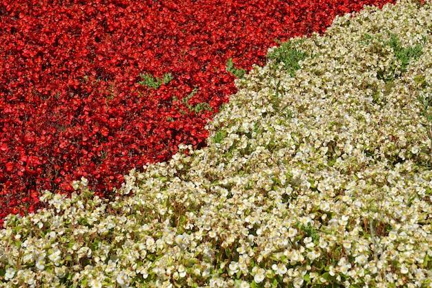 Vista superior as plantas de flor vermelha e branca se separam no graden - texture o fundo diferente do conceito de duas cores, cenários de natureza no jardim do parque Foto Premium