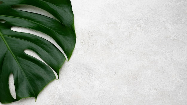 Vista superior da folha de monstera com espaço de cópia Foto gratuita