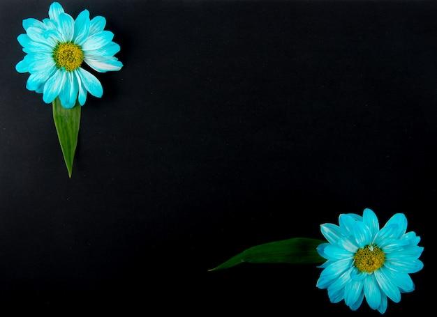 Vista superior das flores de crisântemo de cor azul isoladas no fundo preto, com espaço de cópia Foto gratuita