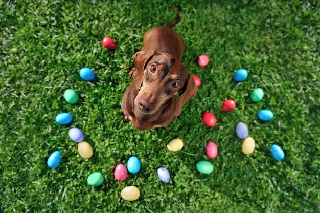 Vista superior do cão bassê na caça ao ovo Foto Premium