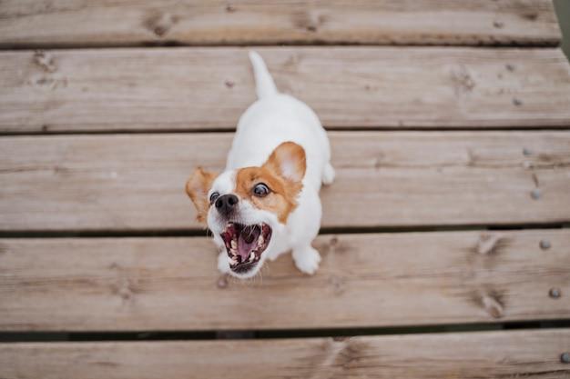 Vista superior do cão pequeno bonito do terrier de russell do jaque que senta-se em uma ponte de madeira ao ar livre e que come deleites deliciosos. animais de estimação ao ar livre e estilo de vida Foto Premium