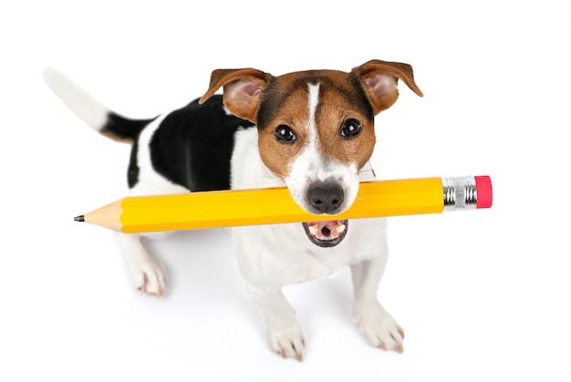 Vista superior do cão sentado e segure o grande lápis amarelo Foto Premium