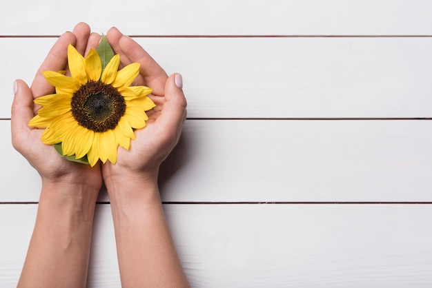 Vista superior do girassol amarelo nas mãos em concha contra o pano de fundo de madeira Foto gratuita