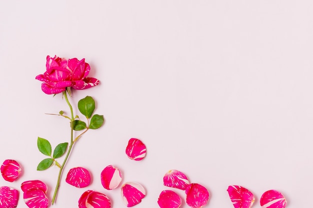 Vista superior rosa vermelha com pétalas em cima da mesa Foto gratuita