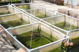 Viveiro de peixes, koi Foto gratuita