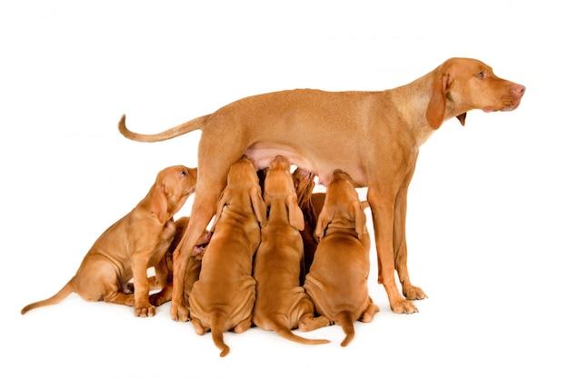 Cadela com filhotes mamando em fundo branco
