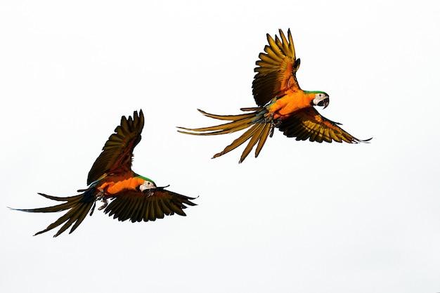 Voo de graça de núcleos de papagaios Foto Premium