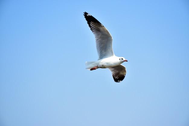 Vôo do pássaro da gaivota com fundo do céu azul. Foto Premium
