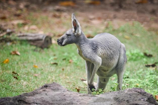 Wallaby de bennet ou cangurus de pescoço vermelho - macropus rufogriseus na grama, canguru Foto Premium