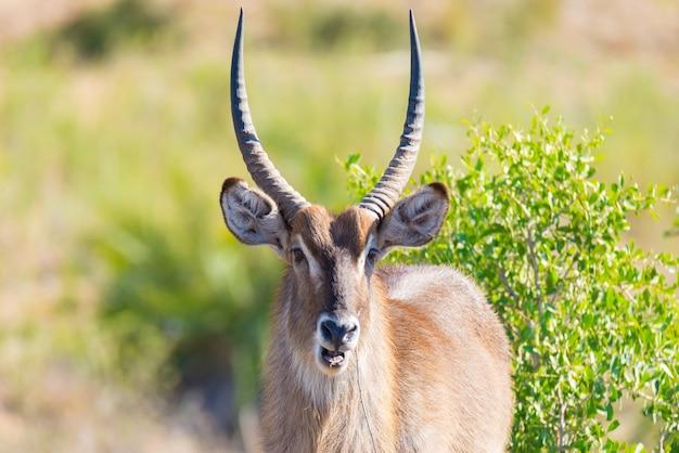 Waterbuck masculino no arbusto que olha a câmera, fim acima. safari da vida selvagem no parque nacional kruger, o principal destino de viagem na áfrica do sul. Foto Premium