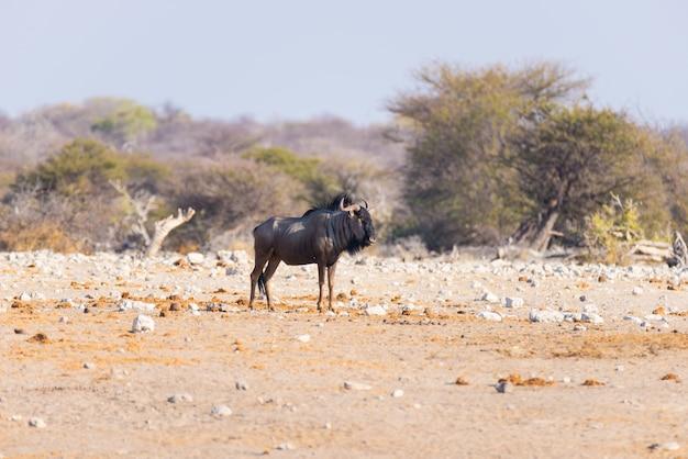 Wildebeest azul que anda no arbusto. safari da vida selvagem no parque nacional etosha Foto Premium