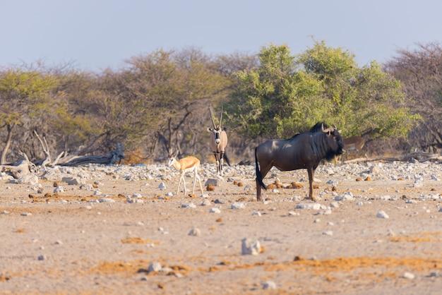 Wildebeest azul que anda no arbusto. Foto Premium