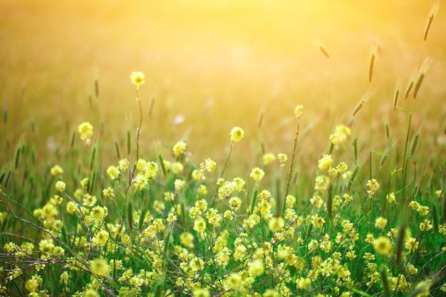 Wildflowers amarelos bonitos na grama verde. Foto Premium