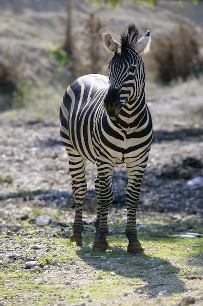 Zebra africana bonita ao ar livre Foto Premium