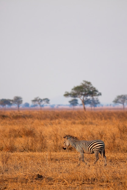 Zebra africana fica na savana seca, mikumi, tanzânia Foto Premium