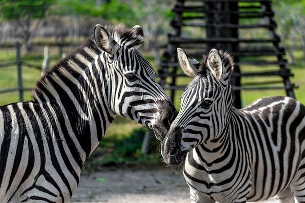 Zebra closeup Foto Premium