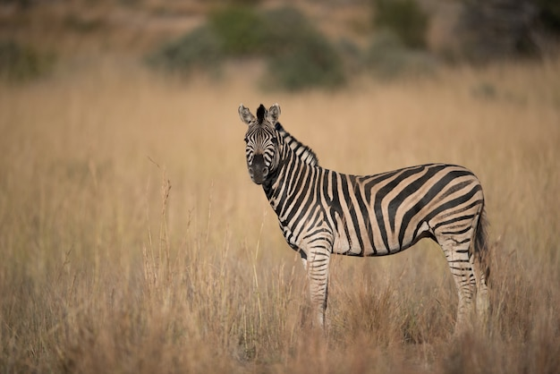 Zebra em pé em um campo gramado Foto gratuita
