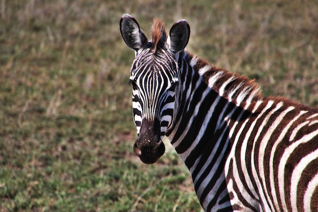 Zebra em safari no quênia e na tanzânia, áfrica Foto Premium