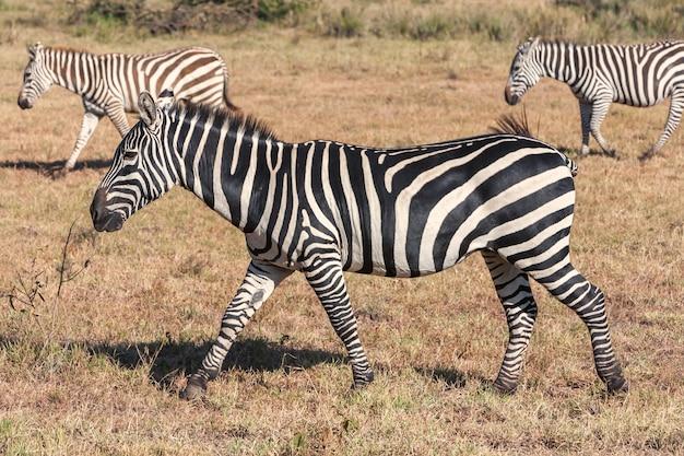 Zebras em pastagens Foto gratuita