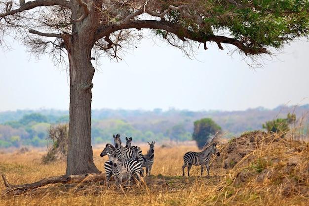 Zebras selvagens juntas Foto Premium