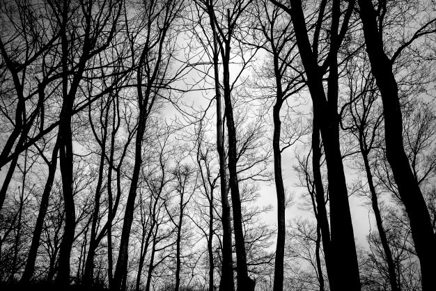 Floresta escura vetores e fotos baixar gratis for Arboles de hoja perenne sin fruto
