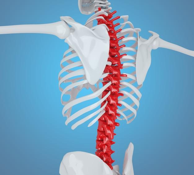 3D Llustration. Menschliches Skelett zurück, Skeleton ...