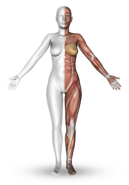 3D mit der Hälfte einer weiblichen Figur machen der Körper die ...