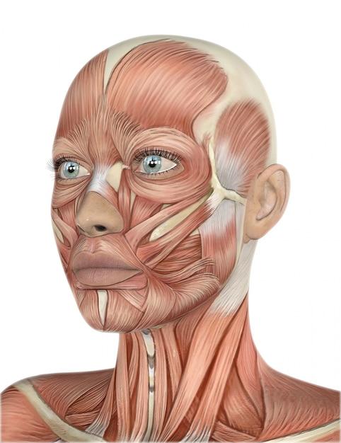 3D mit detaillierten Muskel Karte ein weibliches Gesicht machen ...