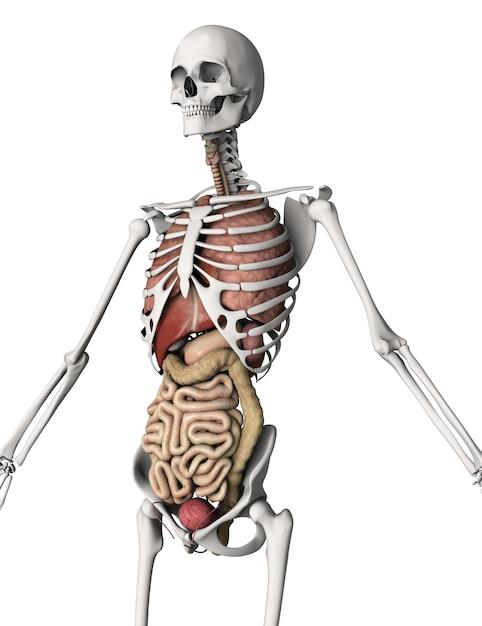 3D mit inneren Organen übertragen von einem Skelett | Download der ...