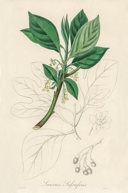 Abbildung von sassafras (laurus sassafras) aus der medizinischen botanik (1836) Kostenlose Fotos