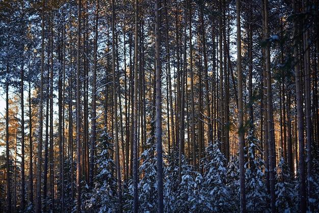 Abend im dunklen wald, weihnachten. sonnenstrahlen im dunkeln. neues jahr, mit schnee bedeckt. fichte kiefer Premium Fotos