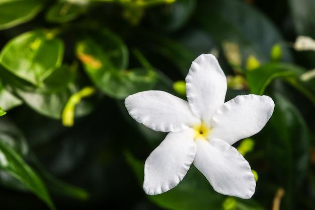 Abschluss herauf draufsicht von weißen blumen ervatamia oder gardenia ist blüte im garten, es hat 5 vorsprung. Premium Fotos