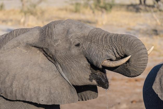 Abschluss hoch und portrait eines jungen afrikanischen elefanten, der vom waterhole trinkt. Premium Fotos
