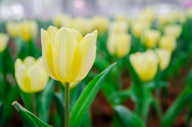 Abschluss oben des blassen gelben tulpenfeldes Premium Fotos