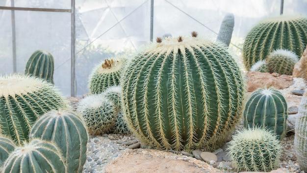 Abschluss oben des kaktus in einem garten. Premium Fotos