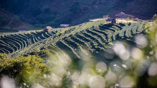 Ackerland-landwirtschaftliche nutzfläche des grünen tees chiang mai thailand Premium Fotos