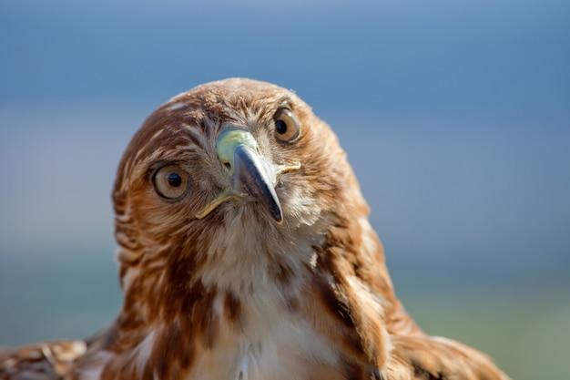 Adler des roten schwanzes (buteo jamaicensis) Premium Fotos