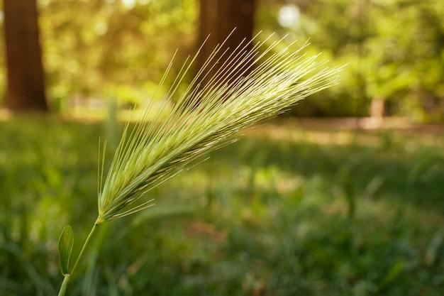 Ähre des grünen weizens im park Premium Fotos