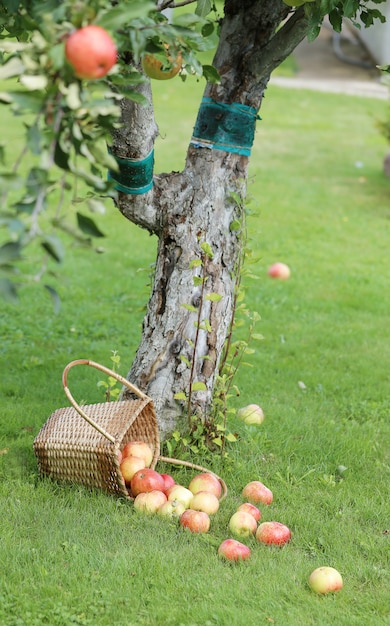 Äpfel auf dem rasen Kostenlose Fotos