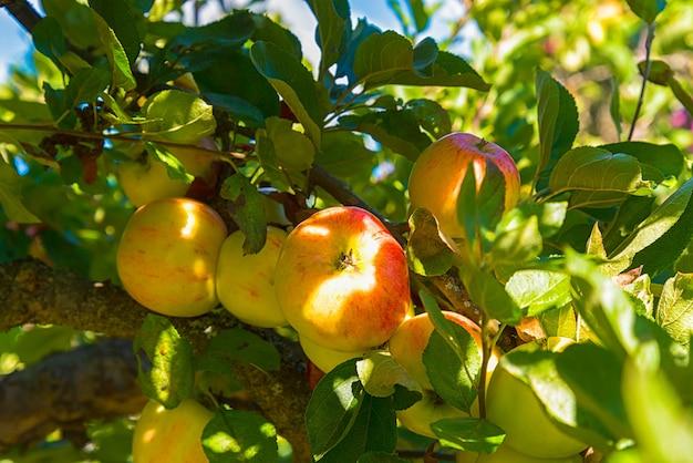 Äpfel im apfelbaum Kostenlose Fotos