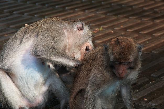 Affe-wald, bali-zoo, indonesien Premium Fotos