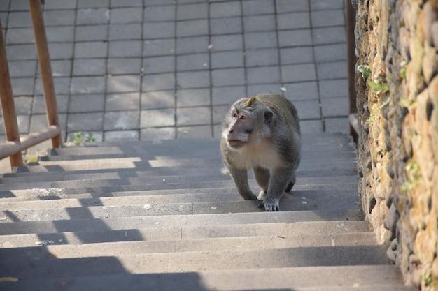 Affen gehen auf der treppe. affewald, bali, indonesien Premium Fotos