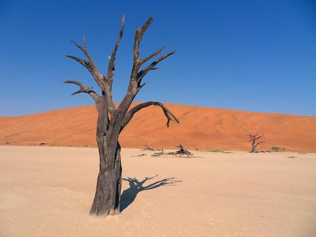 Afrika. einsamer stehender trockener baum in der sahara-wüste. Premium Fotos