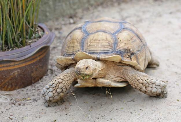 Afrikanische angetriebene schildkröte im garten Premium Fotos